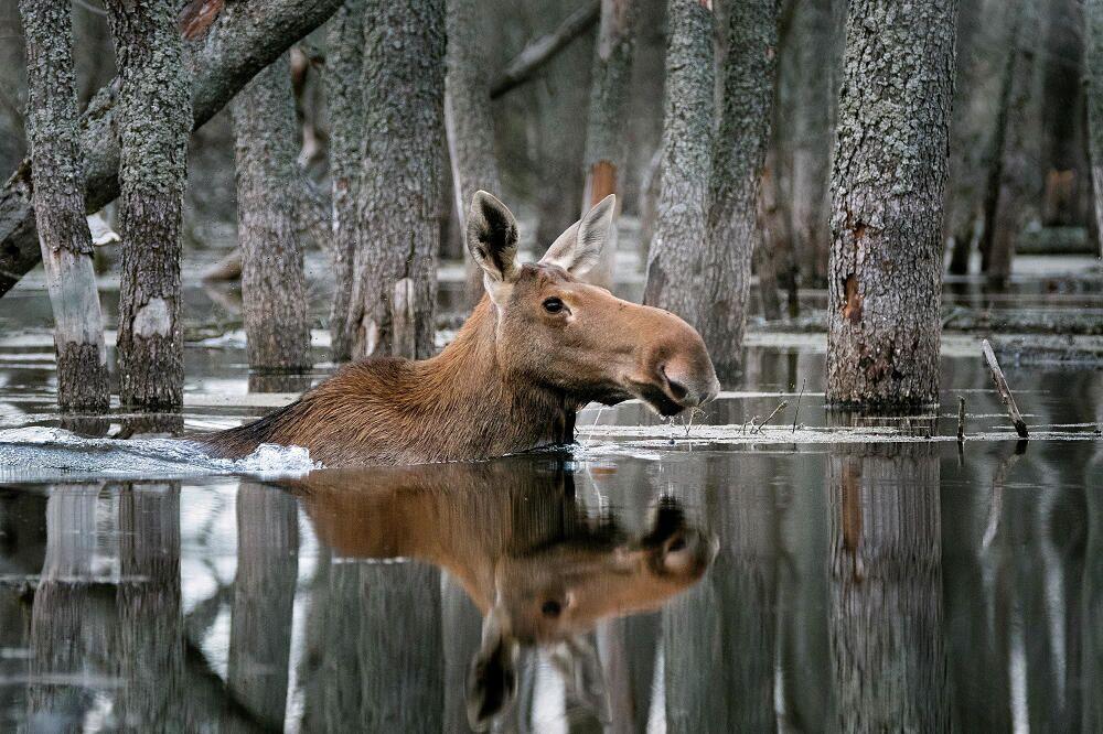 """Zdjęcie """"Pływający po lesie"""" autorstwa fotografa Dmitrija Wiljunowa, zwycięzcy konkursu przyrodniczego National Geographic"""