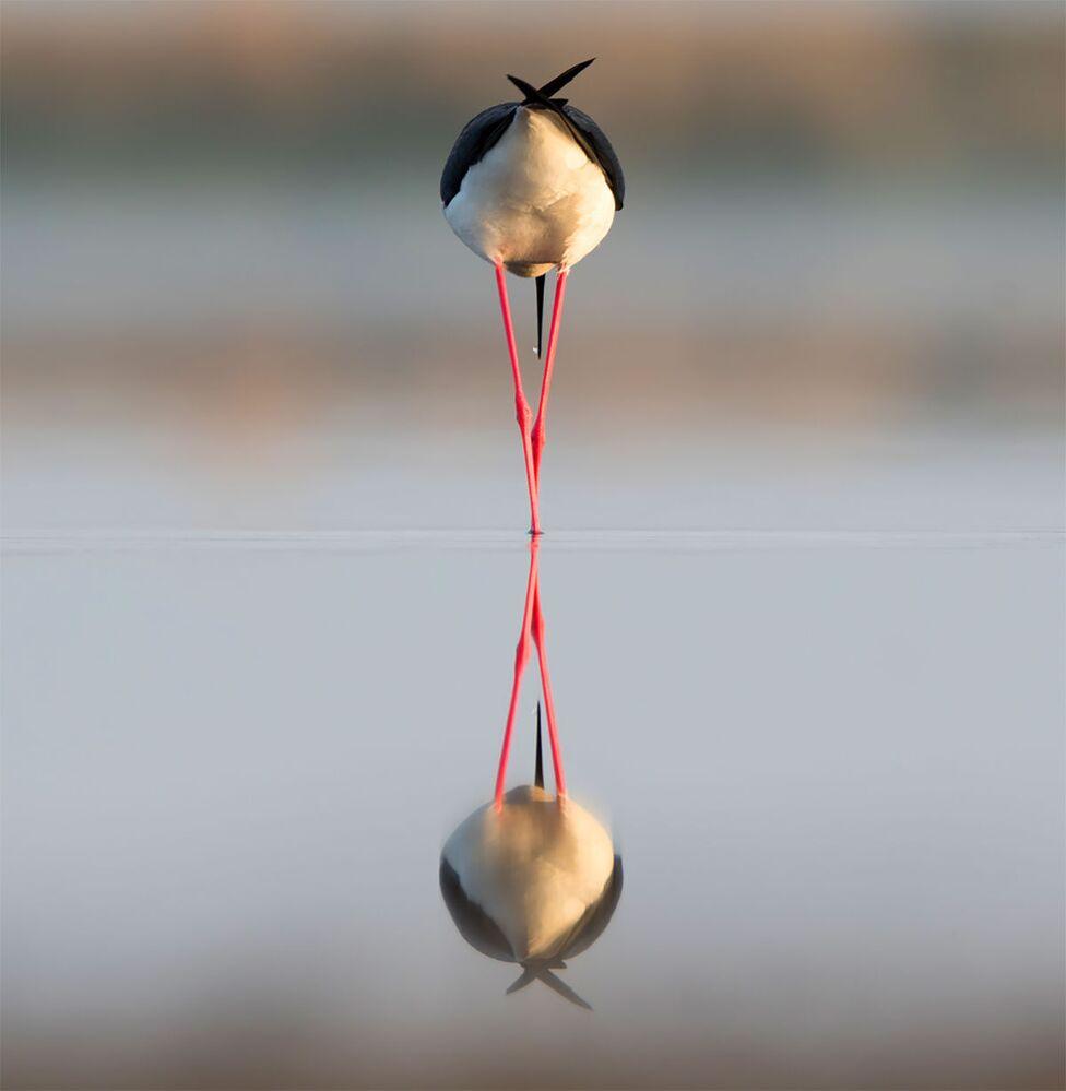 """Szczudłak na jeziorze w Kraju Stawropolskim . Autor zdjęcia Anton Mostovenko, nominacja w kategorii """"Ptaki"""""""