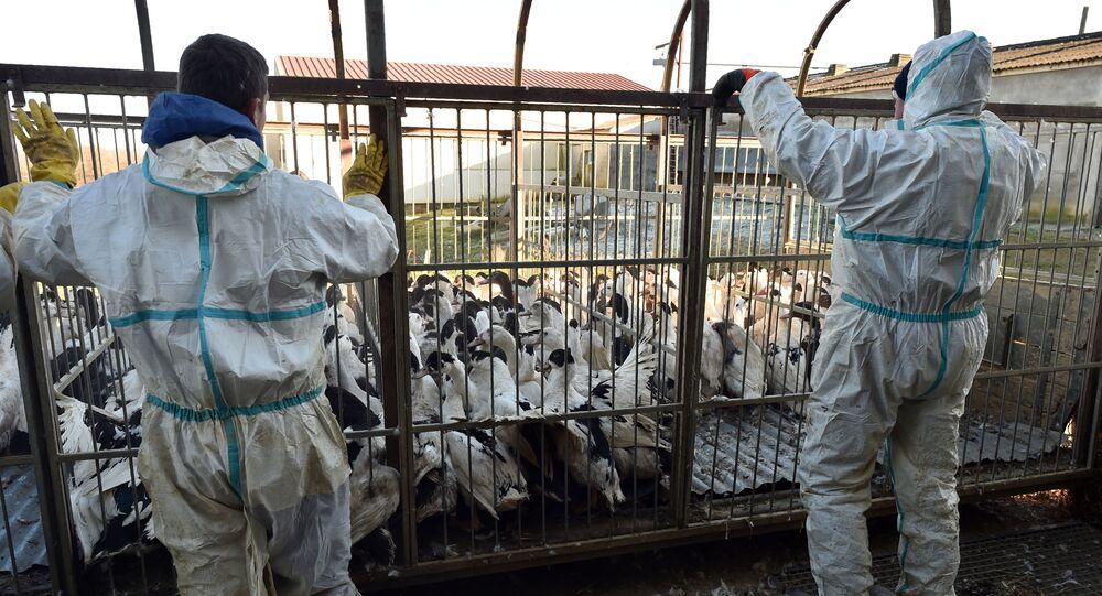 Drób z ptasią grypą na gospodarstwie rolnym w Belloc-Saint-Clamens, Francja