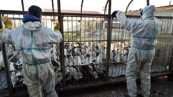 Drób z ptasią grypą na gospodarstwie rolnym w Belloc-Saint-Clamens, Francja - Sputnik Polska