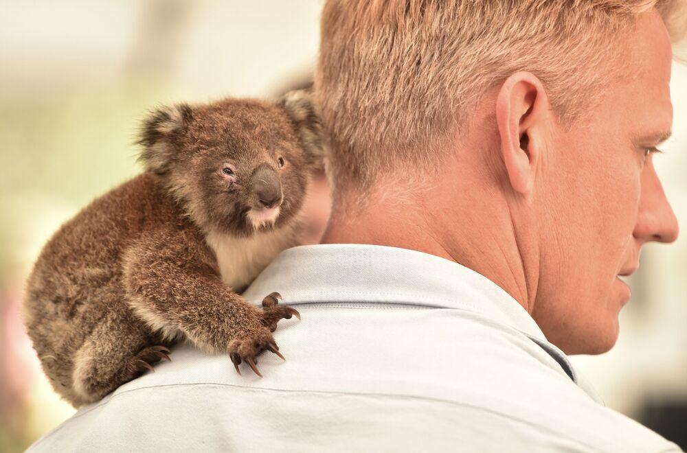 Koala siedzi na ramieniu lekarza weterynarii w tymczasowym szpitalu polowym w parku dzikich zwierząt na wyspie Kangaroo, Australia.