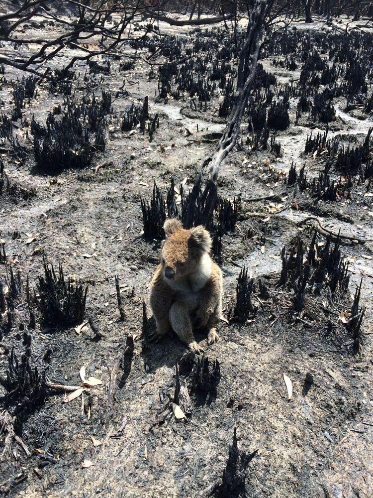 Koala wśród spalonych drzew po pożarach lasów na wyspie Kangaroo, Australia.