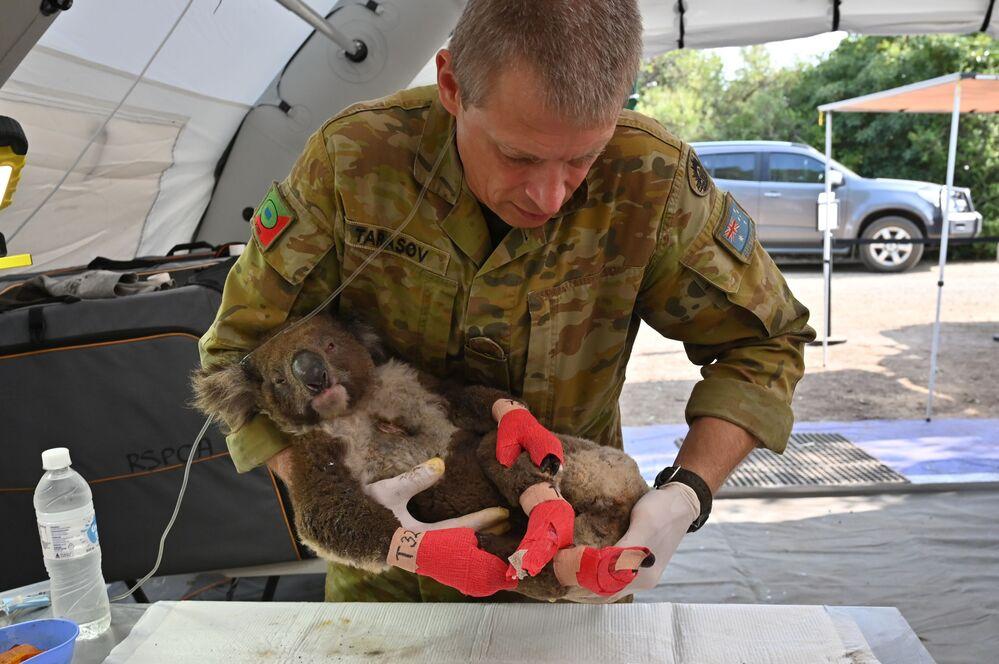 Leczenie koali w szpitalu polowym w Australii.