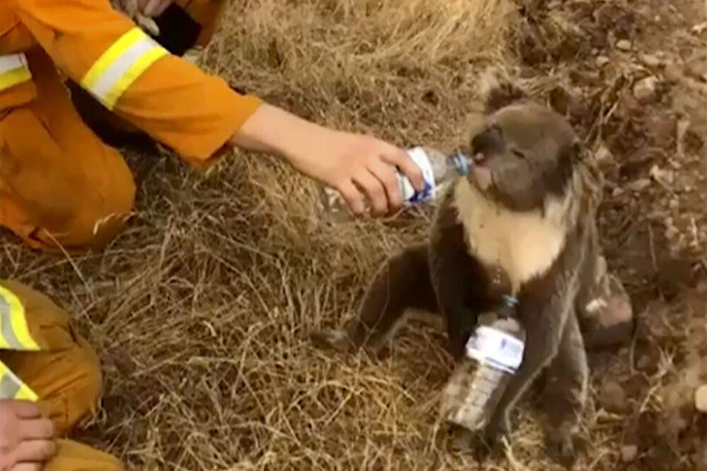 Australijski strażak poi uratowanego koalę z butelki.