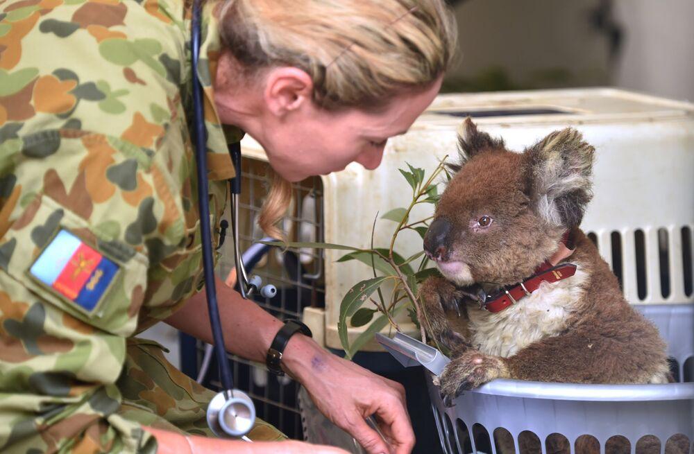 Ranny koala w szpitalu Kangaroo Island Wildlife Park w Australii.