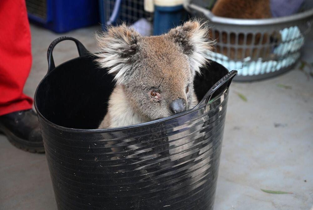 Koala czeka na leczenie oparzeń w tymczasowym szpitalu polowym w parku dzikiej przyrody na wyspie Kangaroo w Australii.
