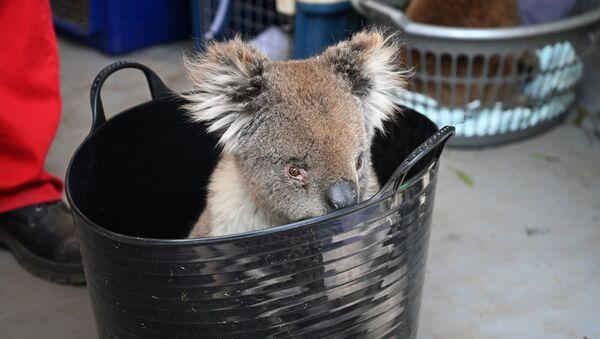 Koala czeka na leczenie oparzeń w tymczasowym szpitalu polowym w parku dzikiej przyrody na wyspie Kangaroo w Australii - Sputnik Polska