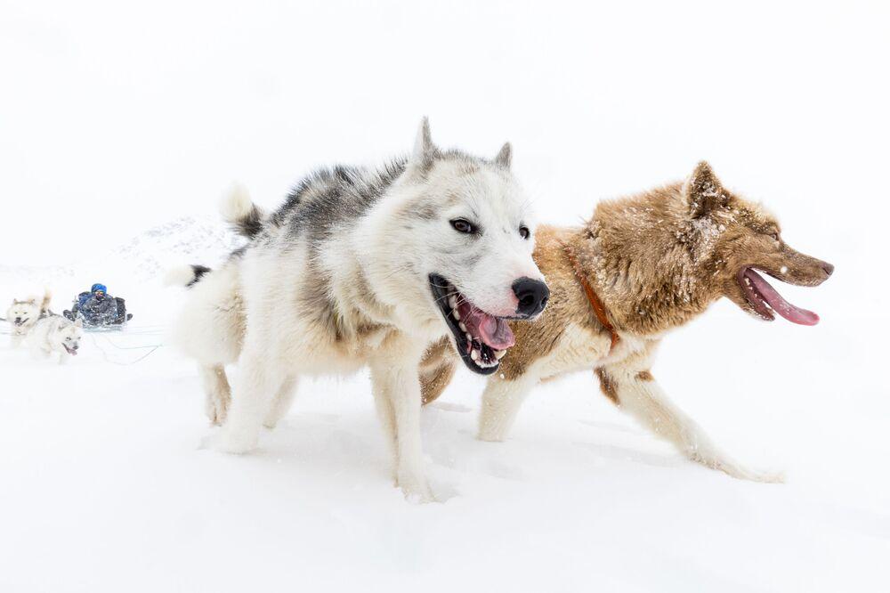 Psy zaprzęgowe na Grenlandii