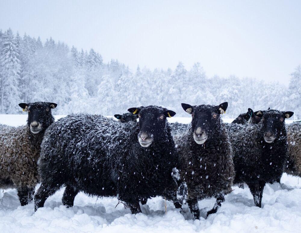 Owce w śniegu