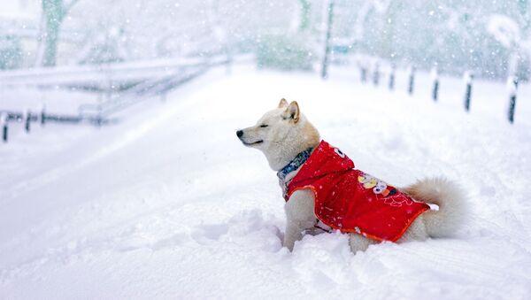Pies w ciepłej kamizelce - Sputnik Polska
