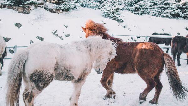 Konie zimą - Sputnik Polska