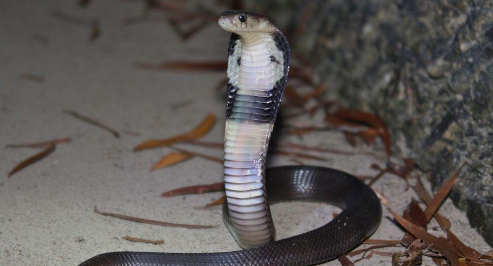 Chińska kobra Naja atra