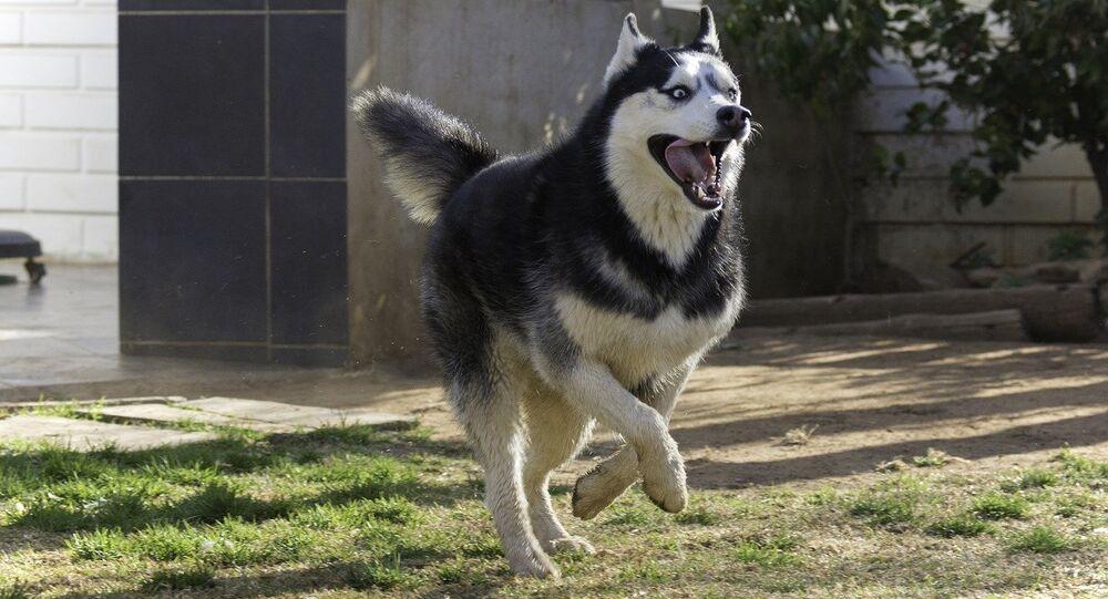 Pies rasy husky