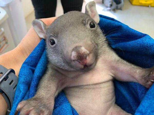 Mały wombat - Sputnik Polska