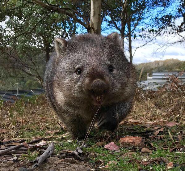 Wombat - Sputnik Polska