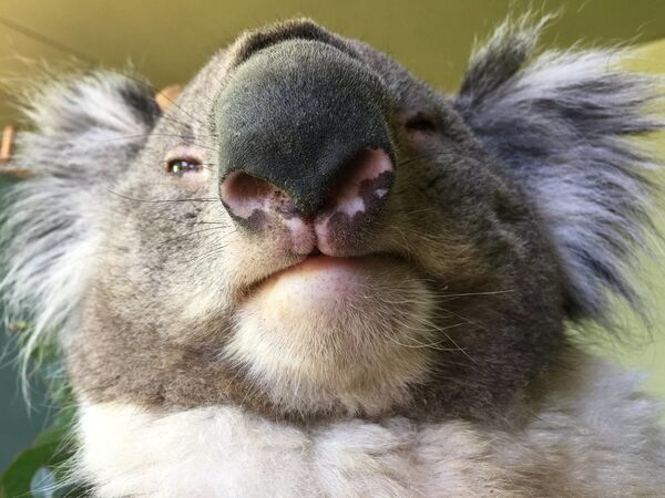Koala - Sputnik Polska