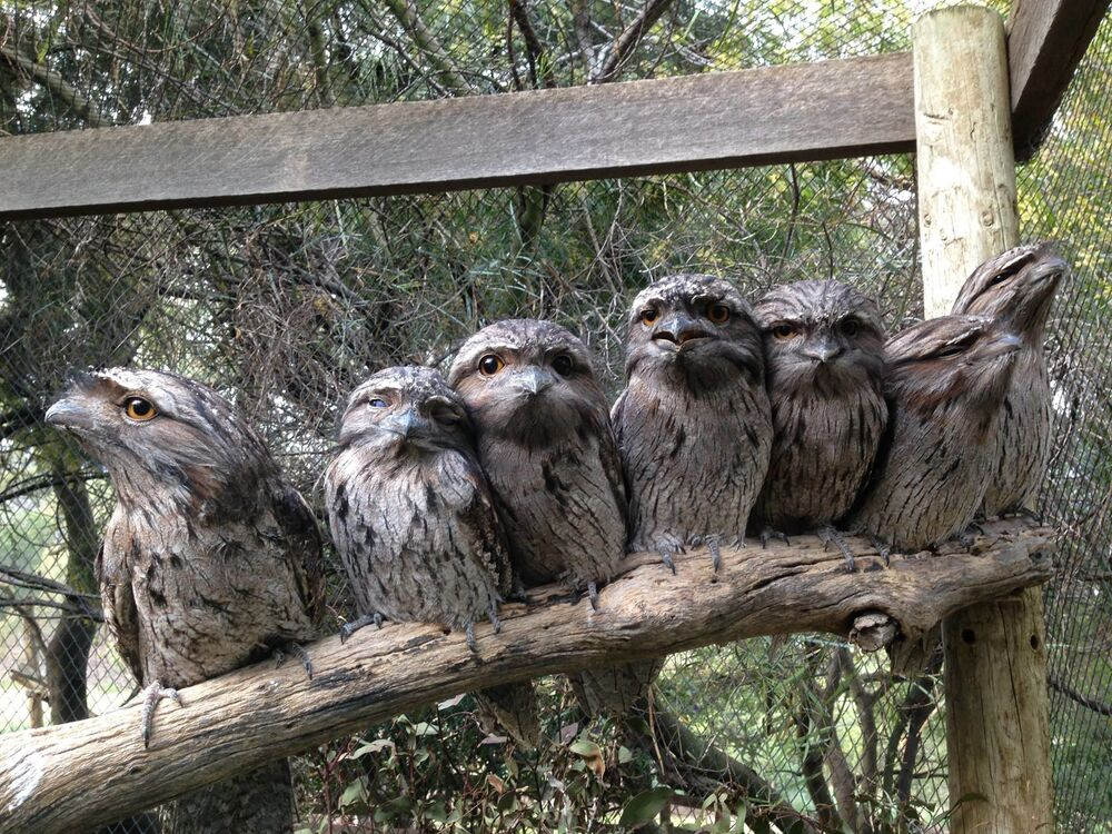 Paszczak australijski