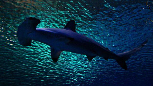 Rekin młot - Sputnik Polska