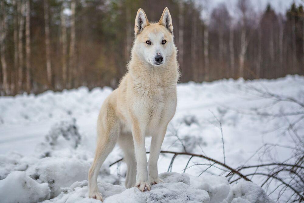 Łajka zachodniosyberyjska w Karelii