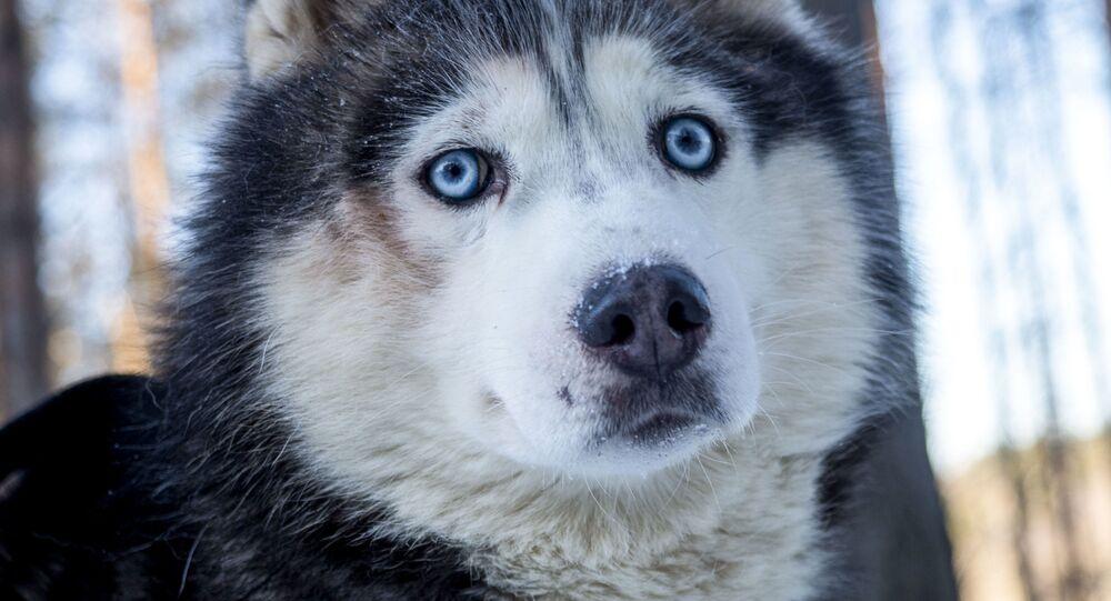 Husky w Karelii