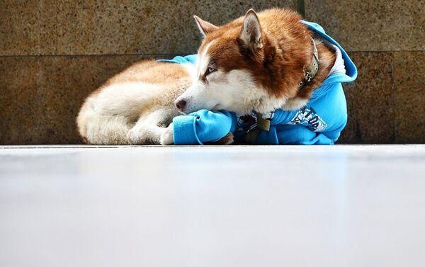 Husky, który codziennie wyczekuje swojej właścicielki przed jej pracą - Sputnik Polska