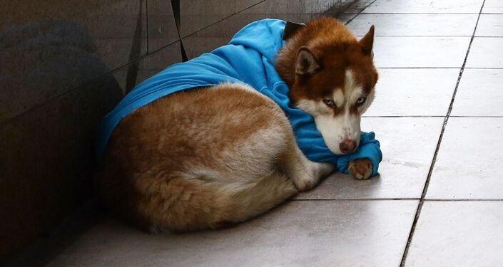 Husky, który codziennie wyczekuje swojej właścicielki przed jej pracą