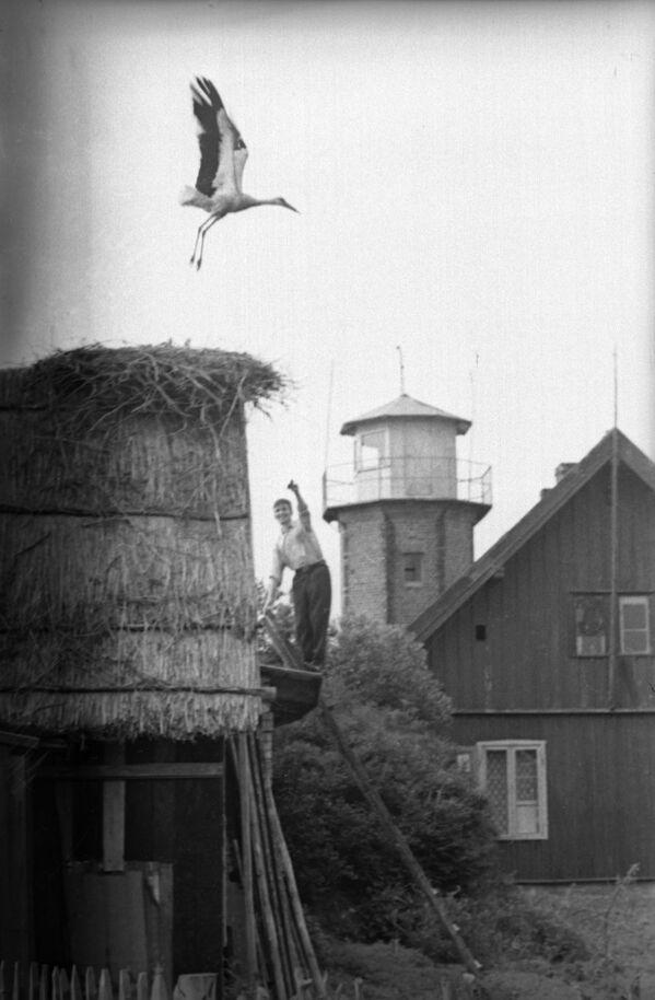 Gniazdo bociana, Litewska Socjalistyczna Republika Radziecka 1966 rok  - Sputnik Polska