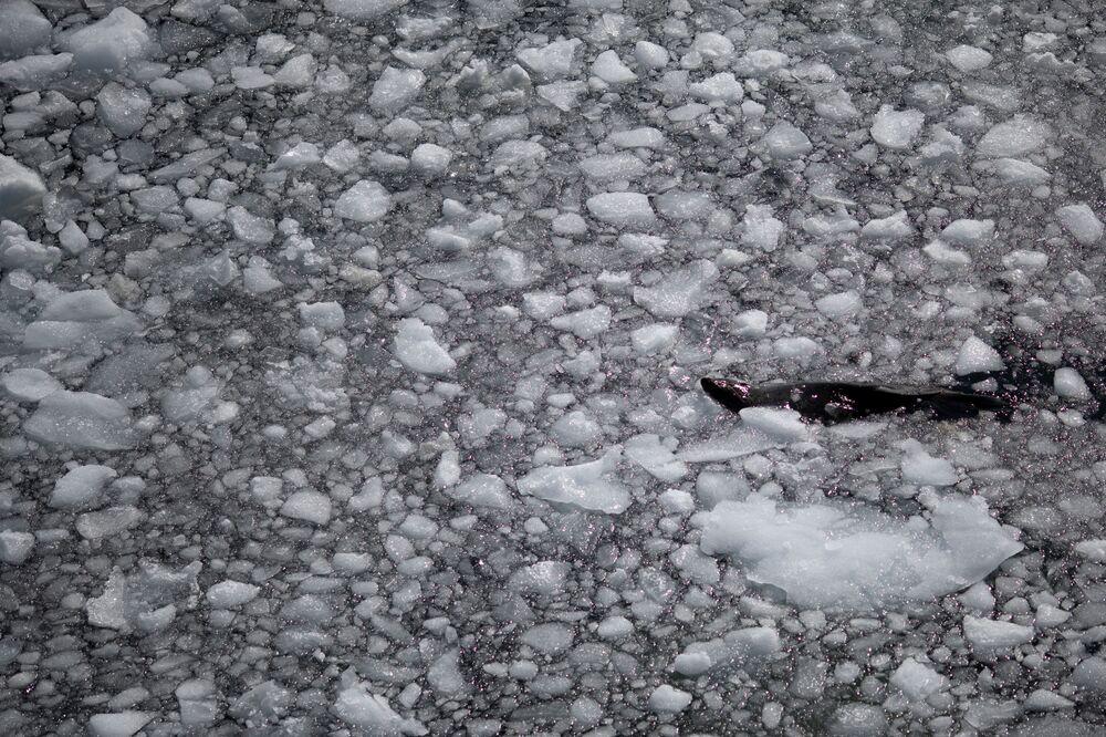 Foka na Antarktydzie