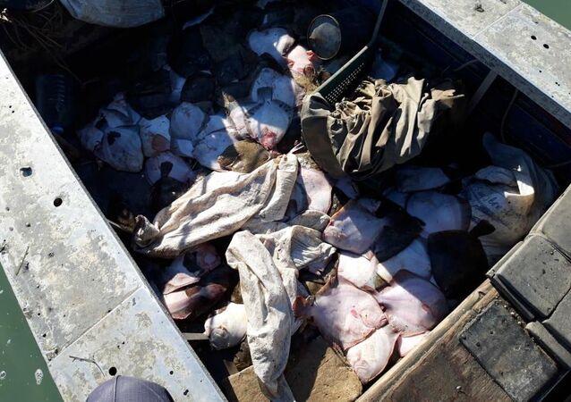 Skarpie czarnomorskie nielegalnie złowione w Morzu Azowskim
