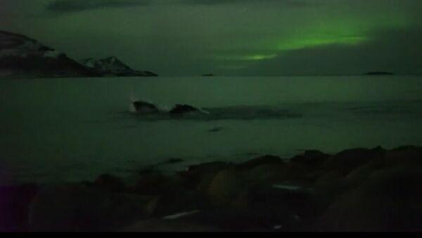 Wieloryby i zorza polarna, Tromso, Norwegia - Sputnik Polska