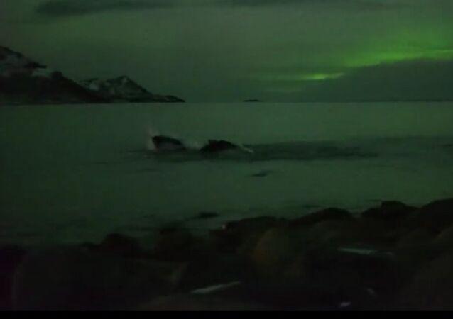 Wieloryby i zorza polarna, Tromso, Norwegia
