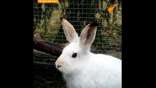 Rosji Centrum rehabilitacji dzikich zająców - Sputnik Polska