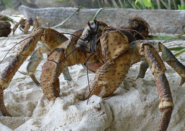 Krab palmowy