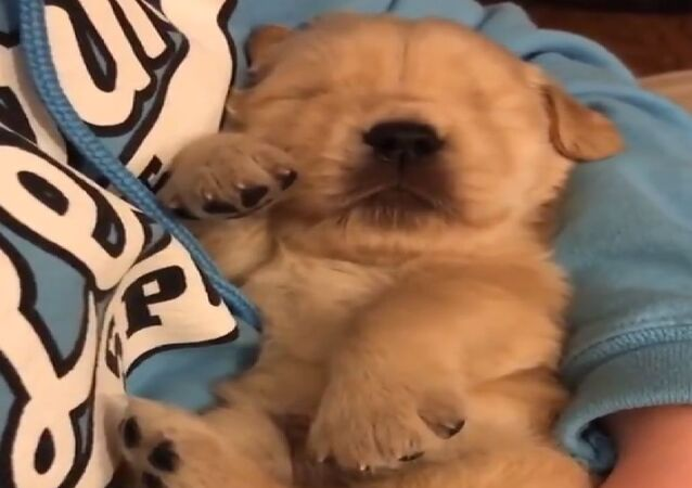 Szczeniak golden retriever śpi w ramionach swojej właścicielki