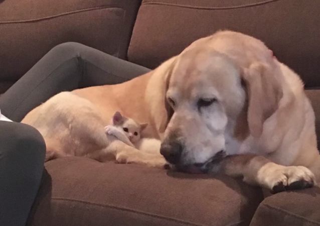 Labrador i kotek