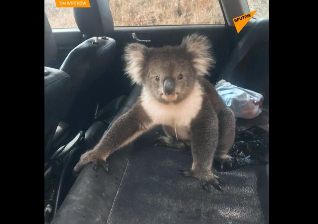 Bezczelna Koala wsiadła do samochodu.