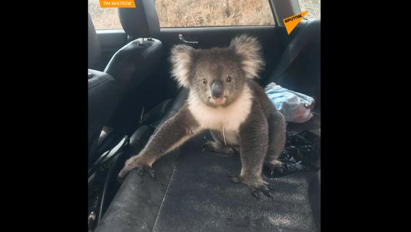 Bezczelna Koala wsiadła do samochodu - Sputnik Polska