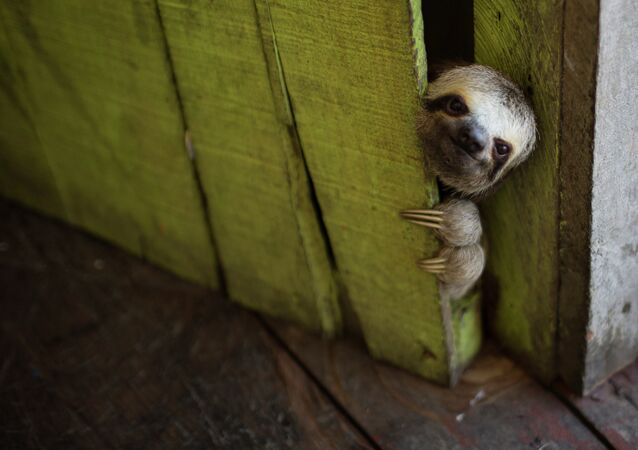 In this May 20, 2014 FILE photo, a female baby sloth peeks out from behind a door on a floating house in the 'Lago do Janauari' near Manaus, Brazil.