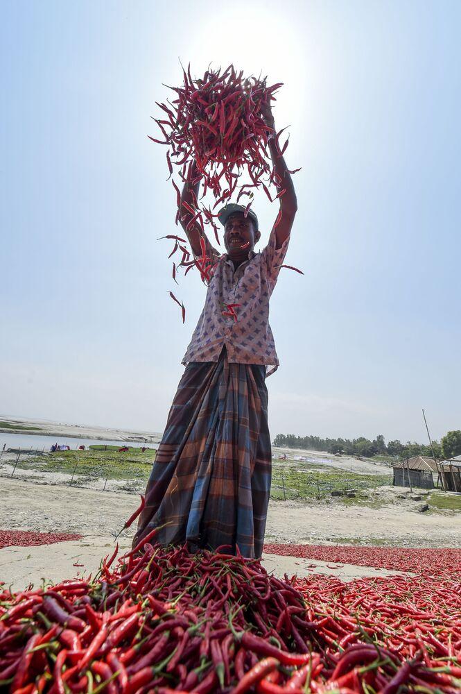 Zbiory papryki chili w Bangladeszu