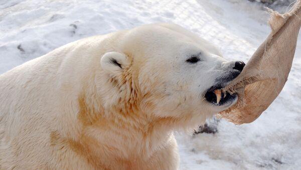 Niedźwiedź polarny - Sputnik Polska