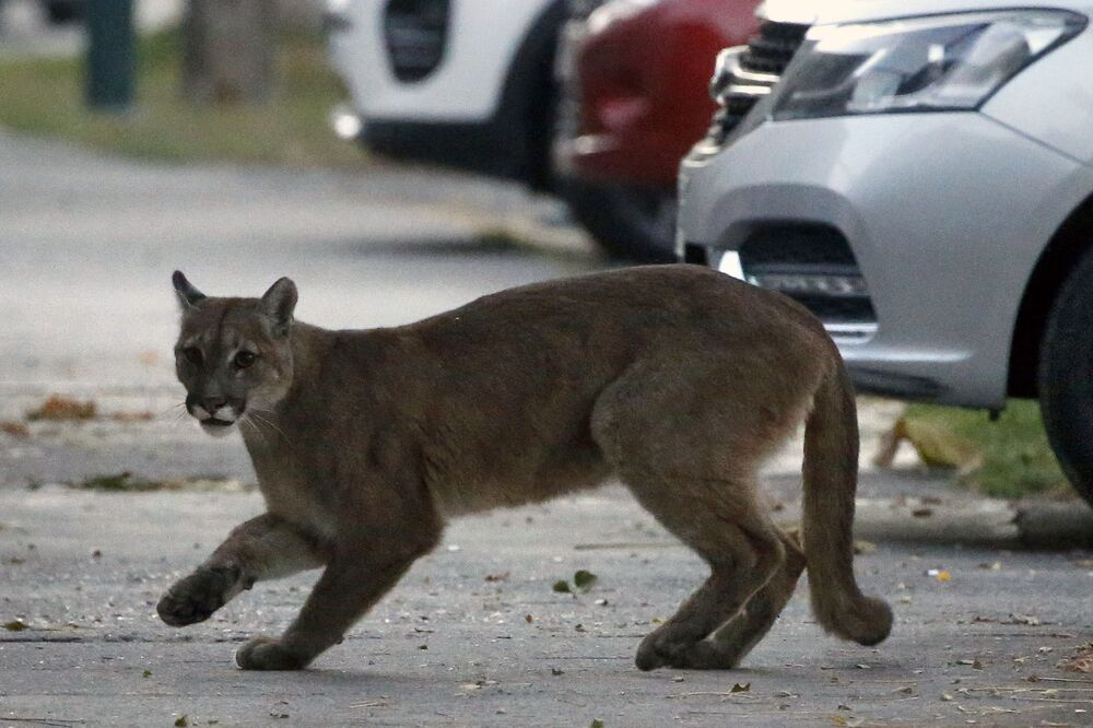 Puma na ulicy miasta Santiago w Chile