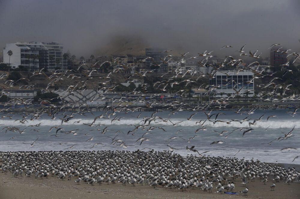 Setki ptaków na plaży Agua Dulce w Limie w Peru