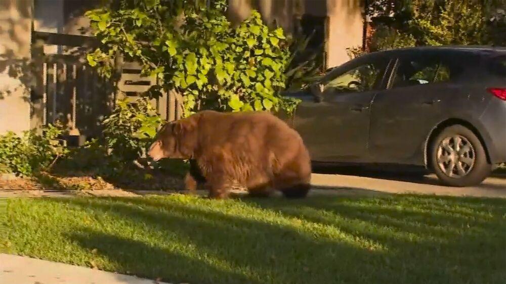 Niedźwiedź obok domu w Kalifornii