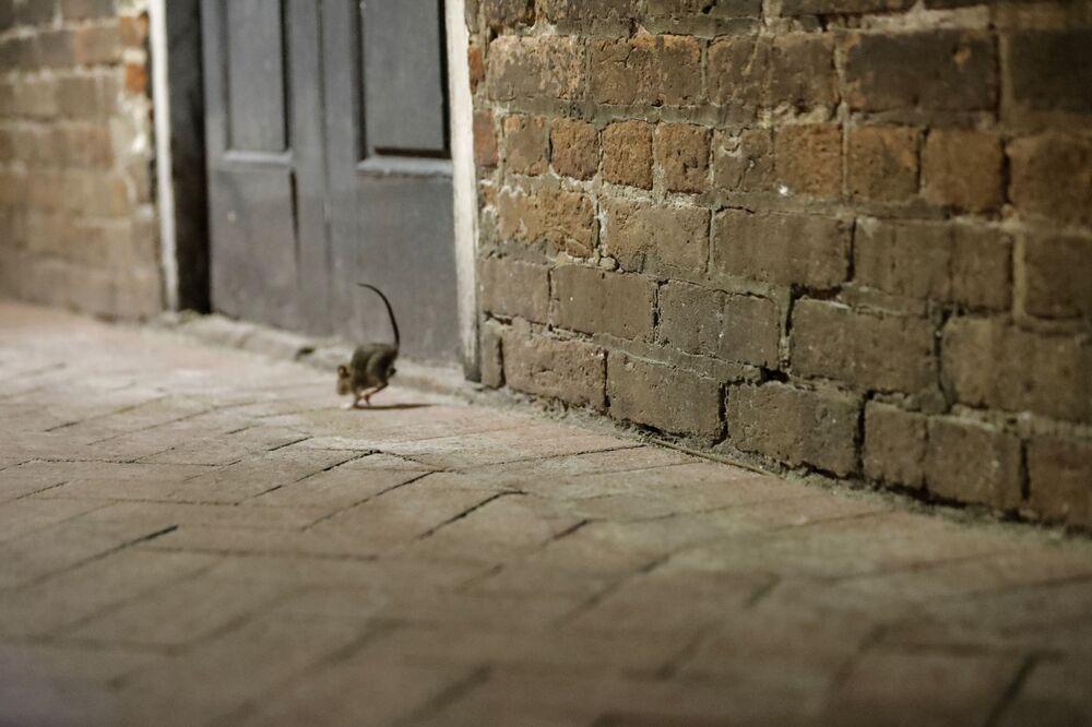 Szczur na opuszczonej ulicy w Nowym Orleanie