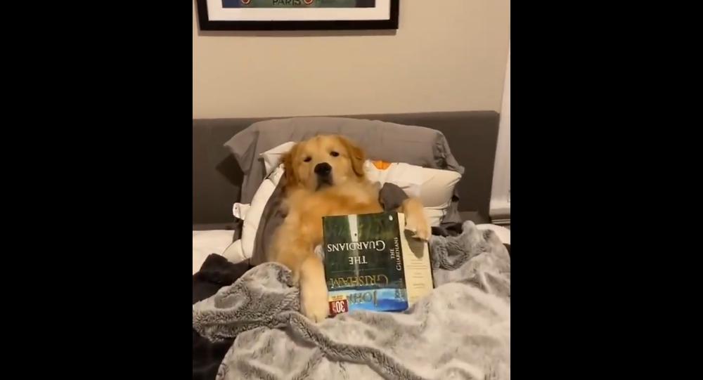 Golden retriever czyta sobie bajkę