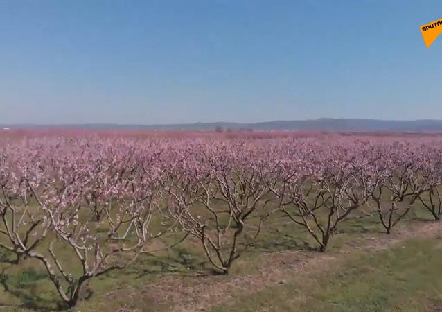 Magia kwitnących drzew brzoskwiniowych.