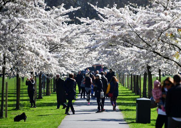 Kwitnienie japońskiej wiśni w Londynie