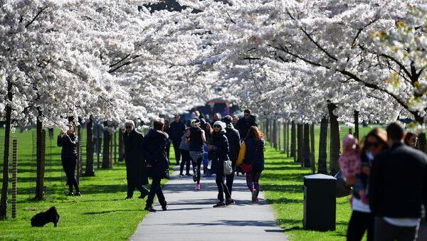 Kwitnienie japońskiej wiśni w Londynie - Sputnik Polska