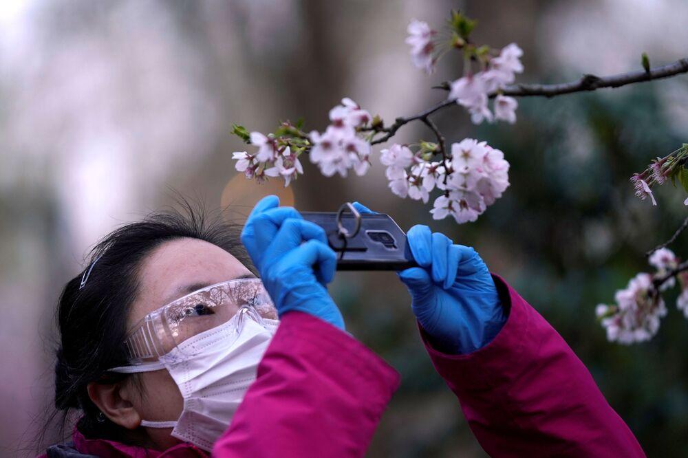 Kwitnienie japońskiej wiśni w Szanghaju