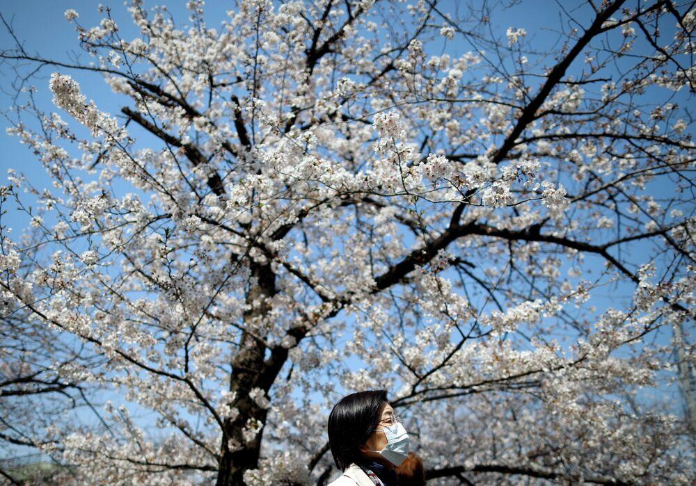 Kwiaty japońskiej wiśni w Tokio